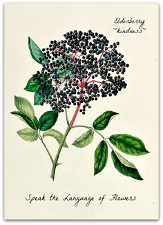 Elderberry translates to ~kindness~ in the Language of Flowers. More at facebook.com/speaktlof