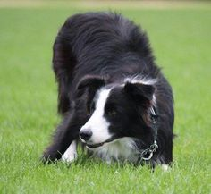 Koda in the Border Collie's stereotyped breed-specific behavior, an eye gaze and a lowered stance. | Border Collie Information and Pictures, Border Collies