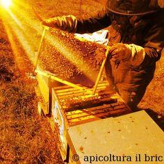#bee #bees #honey #beekeeping #apicoltura #api #miele http://www.ilbric.it/