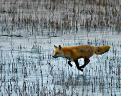 """Flying Fox - Seriously?! You think this red fox has mystical powers and is floating across a marsh?  Okay.....Busted!! This guy is at a full sprint across a frozen pond because, he's a male Red Fox on the way to meet his mate! He's followed the scent trails which this """"foxy"""" little fox left behind."""