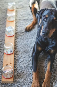 """""""Misused - The Sniffing Board"""" miDoggy community - Canaan Dog Woodworking Projects Plans, Teds Woodworking, Canaan Dog, Dog House Bed, Mastiff Mix, Dog Nails, Glass Containers, Diy Stuffed Animals, Jouer"""