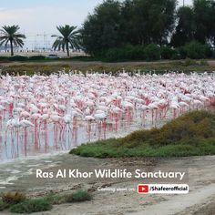 🚩Ras Al Khor Wildlife Sanctuary, Dubai - UAE 👉 Video coming soon on : Dubai Hotel, Dubai Mall, Dubai Travel, Travel Trip, Travel Activities, Abu Dhabi, Uae, Places To Visit, Wildlife