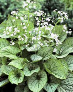 "Brunnera macrophylla 'Mr. Morse'"". Fraai grijs gemarmerd blad bloeit in april - mei met witte bloemen. Hoogte 30 cm"