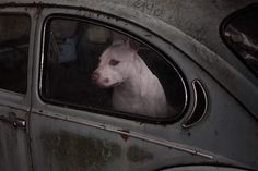 Emotionally Honest Portraits of Dogs Looking Out of Car Windows - My Modern Met