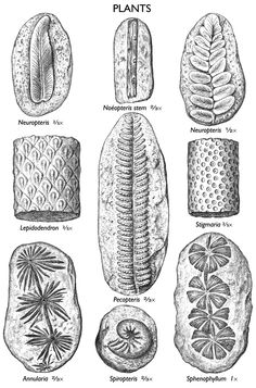 images of plant fossils