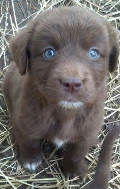 Chocolate lab with blue eyes