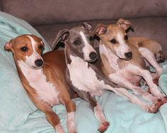 Italian greyhounds: Pixie, Smurf and Annie