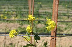 Our McEvoy Ranch vineyards are popping with mustard this spring!