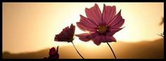pink flowers in sunlight, beauty and nature  - facebook cover photo, fb covers