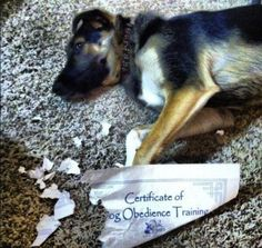 Animals: The 28 Most Ironic Things That Have Ever Happened -- Dogs, cute, funny, German Shepard puppy, dog obedience Funny Animal Pictures, Funny Animals, Cute Animals, Animal Pics, Hilarious Pictures, Fail Pictures, Funny Photos, Funny Coincidences, Oh The Irony