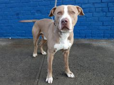 TO BE DESTROYED TUE 12/24/13 Brklyn Ctr **NEW PHOTO  REX  A0987666 Male tan and white pit bull mix. 1 YR 6 MTHS OWNER SUR 12/18/13 House/paper trained and has lived with another dog and was playful. Likes children & strangers. Rex is like a giant, beautiful, wiggly puppy. He is extremely loving, playful and attentive. How sad!  HES A FRIENDLY DOG, WELL TRAINED AND LISTENS-what more could you wants? SUCH POTENTIAL!!!