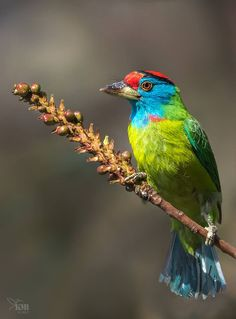 Blue-breasted Barbet