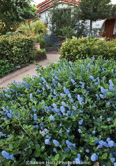 Blue Flowering California Lilac (Ceanothus) Groundcover By Entry Path Into  Southern California Native Plant Garden