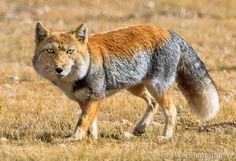 View top-quality stock photos of Tibetan Sand Fox Nagqu Northern Tibet. Find premium, high-resolution stock photography at Getty Images. Nature Animals, Animals And Pets, Cute Animals, Unusual Animals, Animals Beautiful, Tibetan Fox, Maned Wolf, African Wild Dog, Coyotes
