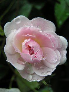 Rose So pretty. Lovely