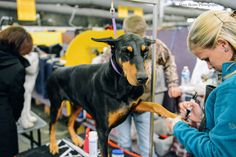 Westminster Dog Show 2015 Doberman getting manicure with a sharpie, photo by Daisy Beatty