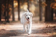 Running towards a new day - Golden Retriever Bonnie Running in the Forest