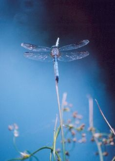 Meditation in blue by ~flamingturtle on deviantART #dragonfly