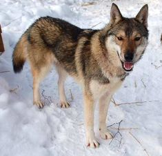 The Tamaskan is a relatively new breed in the United States, originating from the UK and Finland. This breed is derived mainly from a combination of Siberian Husky . Tamaskan Dog, American Indian Dog, Timber Wolf, Companion Dog, Mixed Breed, Cute Faces, Beautiful Dogs, Puppy Love, Mammals