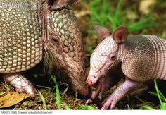 Armadillo mother and baby <3