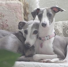 Italian Greyhounds - These will be her dogs. Their names will be Lola and Spot.