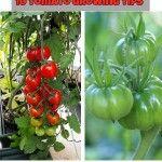 Vegetables Archives - Natural Garden Ideas