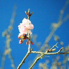 【strange_chameleon121】さんのInstagramをピンしています。 《2017.1.12 晴れ☀️ * お正月休み5.5休を頂き、毎日をエンジョイしております。 ↓ 仕事の同期と横浜の中華街デート❤︎ 家族で御殿場アウトレットとdinner🍴 お母さんと鎌倉へ初詣🎍 ドライブ🚗 などなど…最高な毎日✨ * そして今日は松田山ハーブ園へ行き、早くも桜が咲いていました🌸 もう1年経つんだな〜〜と実感。。。 満開の時期に実家に帰れればまた来たいと思います! * #canoneoskissx7i  #canon  #一眼レフ#canonphotography  #cannon_official  #picture  #写真  #写真好きな人と繋がりたい  #カメラ好きな人と繋がりたい  #写真撮ってる人と繋がりたい  #ファインダー越しの私の世界  #カメラ女子  #写真部  #beautiful  #Instagram  #InstagramJapan  #igers  #like4like  #love  #instagood  #instalove…