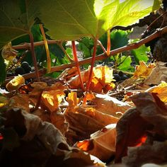 Vendimia a ras del suelo #photo #photos #pic #pics #TagsForLikes #picture #pictures #snapshot #art #beautiful #instagood #picoftheday #photooftheday #color #all_shots #exposure #composition #focus #capture #moment #atodafoto #vino #vendimia #uva #viñas #Lanzarote #IslasCanarias