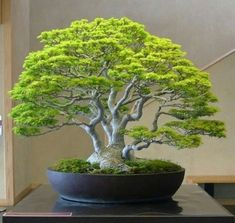 The upright styles in bonsai are one of the most popular and easy styles for beginners. Learn all about the two main upright styles in bonsai growing. Bonsai Tree Types, Indoor Bonsai Tree, Bonsai Plants, Bonsai Garden, Garden Pots, Wisteria Bonsai, Mini Bonsai, Bonsai Forest, Bonsai Styles