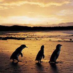 Hoping some of these guys come out in time for some wedding photos on the beach. See Penguins on Phillip Island, Australia
