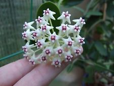 HOYA  GOLAMCOIANA WELL ROOTED  CUTTING/HOUSE PLANT
