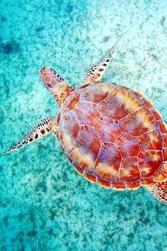Maui sea turtle, Hawaii