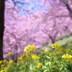 【wycmiiwap】さんのInstagramをピンしています。 《まつだ桜まつり2014  山の斜面に、菜の花が一面に咲き乱れ、 見上げれば河津桜。 とてもきれいなところです!  今年の桜まつりは明日11日からです! 公式ページ見ると、すでに満開のようです!! #西平畑公園 #まつだ桜まつり #松田山ハーブガーデン #松田山 #菜の花 #桜 #河津桜 #wp_まっぷ花まつり #はなまっぷ #ザ花部  #tv_flowers #lovely_flowergarden #loves_flowers_ #flower_lovers #team_jp_flower #haru_pics  #ig_japan #japan_daytime_view #lovers_nippon #igersjp #kanagawaphotoclub #神奈川県 #松田市 #キタムラ写真投稿 #tokyocameraclub #ファインダー越しの私の世界 #写真好きな人と繋がりたい #写真撮ってる人と繋がりたい #pentaxk30 #pentaxfa31mmlimited》