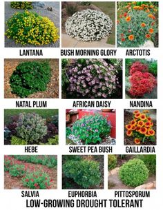 Drought-Tolerant Flowering Shrubs