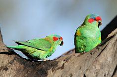 Pair of musk lorikeets, Bundoora, suburban Melbourne #ParrotOTD. Vik Dunis http://www.bushpea.com/bd/pg/all/m/musk%20lorikeet%2010.html …Media Tweets by Parrot Of The Day (@ParrotOfTheDay) | Twitter
