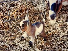 baby miniature goat - can you get any cuter than this?