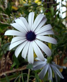 This is an osteospermum (a cousin to the daisy) that I just love. The white would be beautiful in the bridesmaids bouquets. And they have a little something blue in them =]