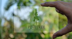 Pine Tree Logo:- Re-sizable vector- Editable text- Easily customizable colors- AI EPS documentsUsed default Fonts:- Chaparal ProFor any modification, editing assistance and addition. Tree Logos, Pine Tree, Logo Templates, Fonts, Herbs, Calligraphy, Crafty, Colors, Penmanship