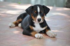 Appenzeller Sennenhund, Bouvier Appenzellois, Swiss Mountain Dog