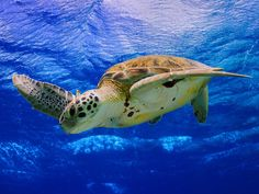 Sea turtles live for up to 150 years, but throughout their whole lives, they remember the beach where they were born. They can weigh up to 400 pounds, and live in tropical and subtropical oceans worldwide.