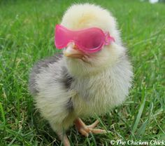 Cute Chickens, Baby Chickens, Chickens Backyard, Keeping Chickens, Cute Animal Photos, Funny Animal Pictures, Cute Little Animals, Cute Funny Animals, Farm Animals