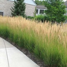 Karl Foerster Grass is a fast growing, low hedge plant ($12.99 each @great garden plants)