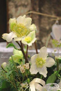 Christmas rose Helleborus