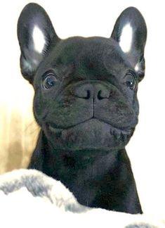 """Gimme a Smile!"", Adorable French Bulldog Puppy ❤️ #Buldog via @KaufmannsPuppy"