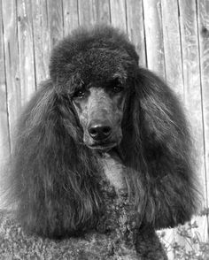 black poodle | The Perfect Picture-black-standard-poodle-headstudy.jpg