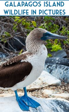 Blue-footed booby - helping to make our trip to the Galápagos Islands an incredibly unique one. See the islands' bird and other wildlife in big pictures: http://livesharetravel.com/20223/galapagos-islands-wildlife/