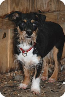 09/14/15-Norfolk, VA - Terrier (Unknown Type, Small) Mix. Meet Willy a Dog for Adoption.