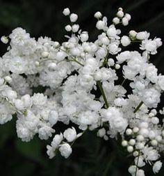 Filipendula vulgaris 'Plena' - Kleines Mädesüß