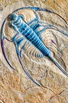 Bristolia is an extinct genus of trilobite, fossil marine arthropods, with eight or more small to average size species.It is common in and limited to the Lower Cambrian (Upper Olenellus-zone) shelf deposits across the southwestern US, which constitutes part of the former paleocontinent of Laurentia.TaxonomyEdit Bristolia can be separated into two distinct groups: one consisting of B. insolens and B. anteros,the other comprising a gradual spectrum of morphologies...