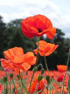 Free photo: Poppy, Poppies, Flower, Field - Free Image on Pixabay . Flower Images, Flower Photos, Flower Art, Wild Poppies, Wild Flowers, Poppy Flowers, Field Of Poppies, Poppies Poem, Poppies Art